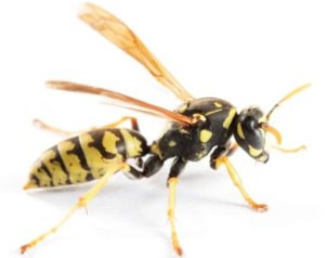 s-wasp