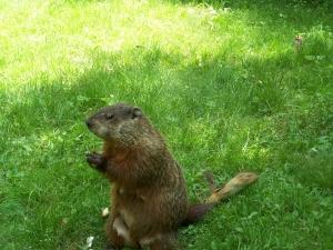 Groundhog_&_chip-pose